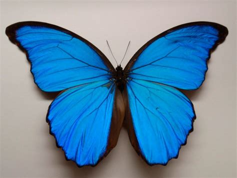 imagenes las mariposas pin mariposas monarcas on pinterest
