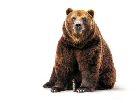 el no es so so bears aren t average books brown animal facts and information