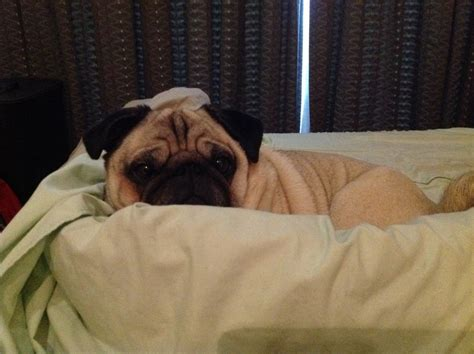 don t want to get out of bed but i don t want to get out of bed today about pug