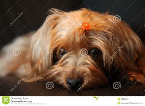 free yorkie poo yorkie pet clipart clipart suggest