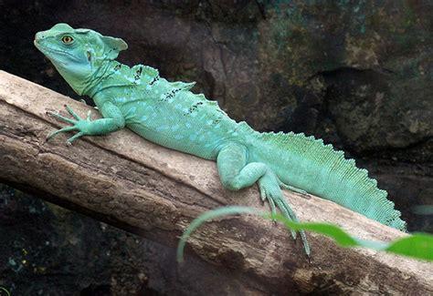 imagenes reales de un basilisco enciclopedia animal animales de los r 237 os lagos y