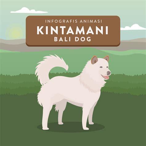 Anjing Kintamani Bali infografis animasi anjing kintamani bali house of