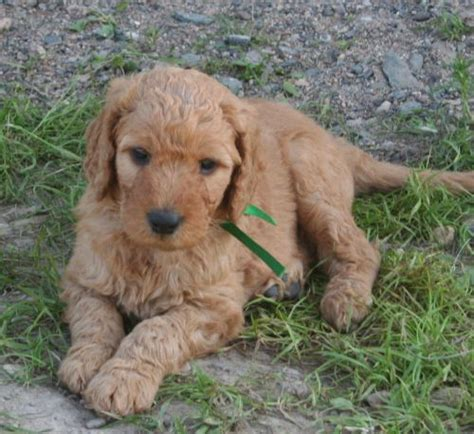 doodle name louie 40 best friends images on cutest animals