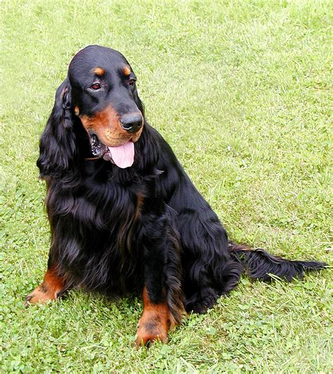 gordon settee file nike the gordon setter 18 june 2005 jpg wikimedia