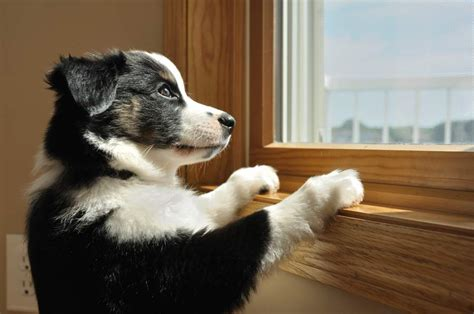 puppy separation anxiety solutions separation anxiety solutions and cures tectopet
