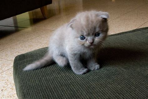 For Cats scottish fold