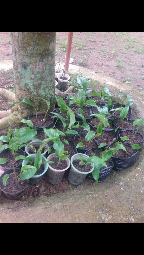 Bibit Cabe Puyang prospek bisnis pertanian cabe jawa yang eksotis