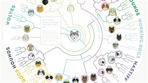 where did pugs come from a simple chart shows how dogs today evolved from a wolf gizmodo australia