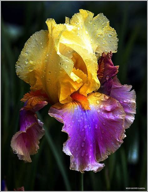 25 best ideas about irises on pinterest iris flowers bearded iris and purple iris
