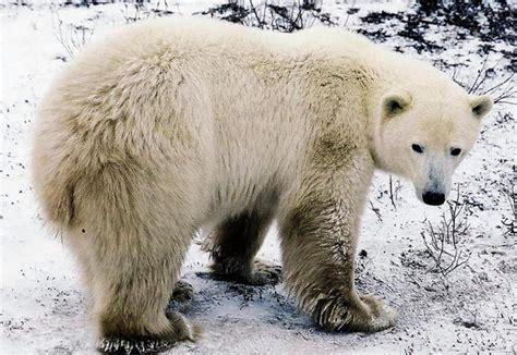 polar bears popsugar pets