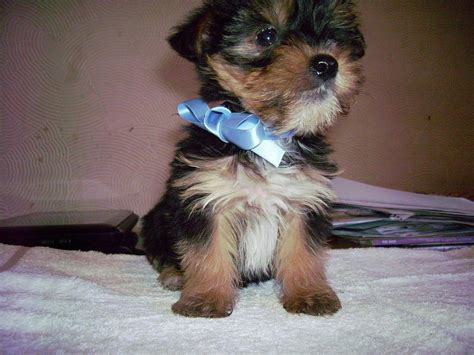 mini yorkie terrier miniature yorkie puppy breeds picture