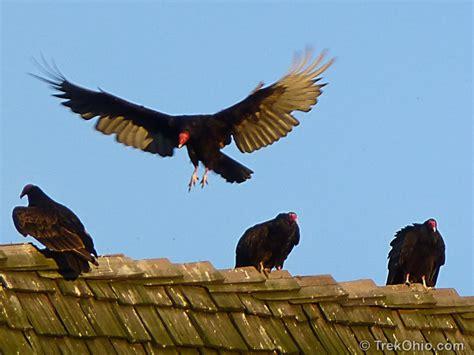 turkey vultures and black vultures trekohio