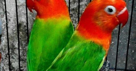 Pakan Lolohan Lovebird Import harga lovebird biola terbaru yang mencapai 22 juta
