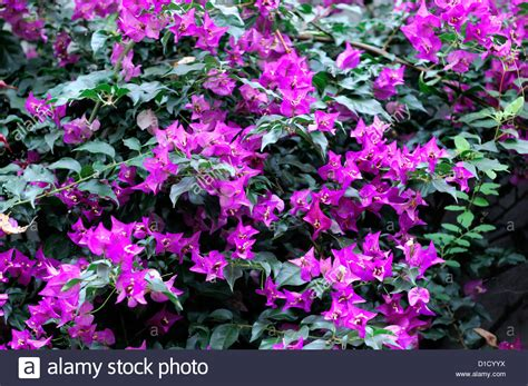 Bougainvillea Trellis Ideas Climbing Vine With Pink Flowers Choice Image Flower