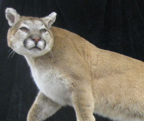 Home Group Design Works cougar oregon taxidermist award winning safari
