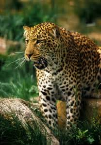 Jaguar Cat Usa Tennessee Week For The Animals Links