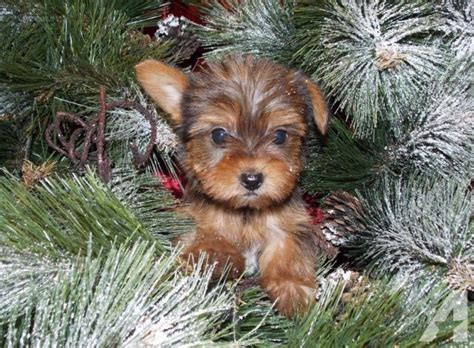 yorkies for sale mn yorkie poo puppies mn