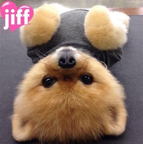 Jiffpom cutest celebrity dog on instagram