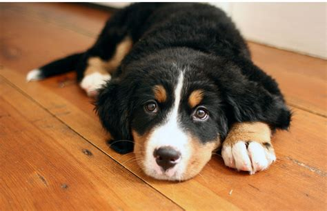 bernese mountain puppies cost picture of bernese puppy on wood floor png