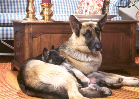 how do you say couch in german 10 things only german shepherd dog owners understand