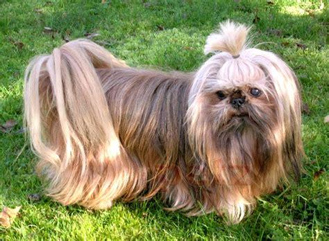 shih tzu louisiana shih tzu shih tzu informaci 243 n sobre la raza de perro