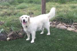 golden retriever puppies in medford oregon golden retriever breeders oregon california