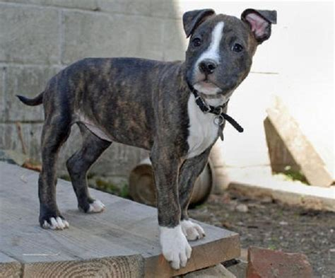 boston terrier pitbull mix puppies the world s catalog of ideas