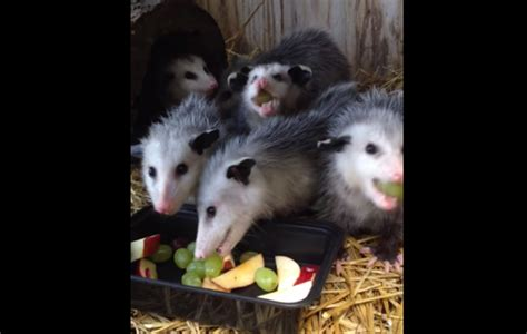 baby possums eating fruit   cutest sounds