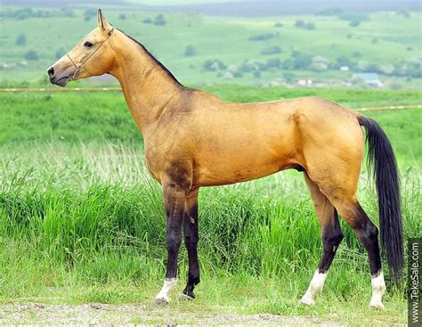 akhal teke colors akhal teke colors akhal teke with some seriously awesome