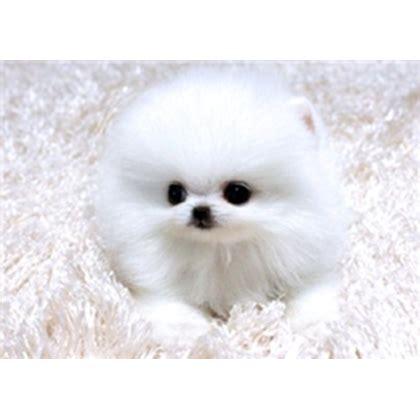 akc teacup pomeranian puppies for sale akc teacup pomeranian puppies for sale 1 roblox
