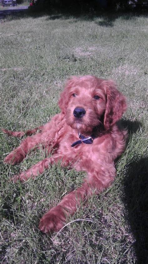 irish setter poodle mix this is my big boy phillip an irish setter standard