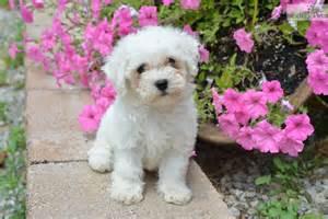 bichon frise puppies for sale in ohio rubble bichon frise puppy for sale near cleveland ohio ec96d57b 35e1