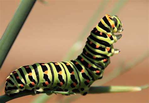 White Wall by Raupe Schwalbenschwanz Papilio Machaon Foto Amp Bild