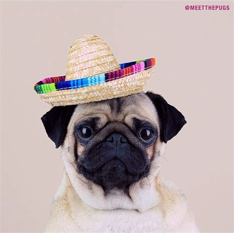 mexican pug quot did you just say enchiladas quot loulou pug mexican hat sombrero loulou co