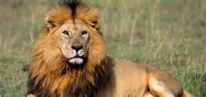 Lion facts 20 interesting facts about lions