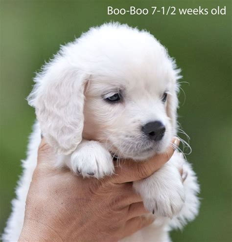 white golden retriever breeders california 32 best golden retrievers images on puppies beautiful and best