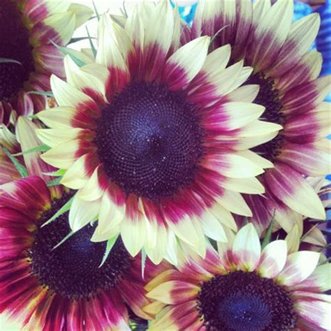pink sunflowers images search strawberry pink sunflower helianthus annuus