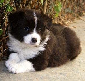 border collie puppies colorado fayken border collies