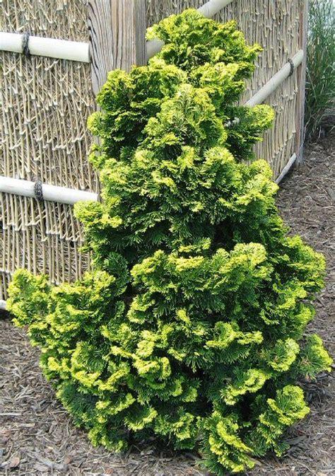 hinoki cypress gardening landscaping pinterest
