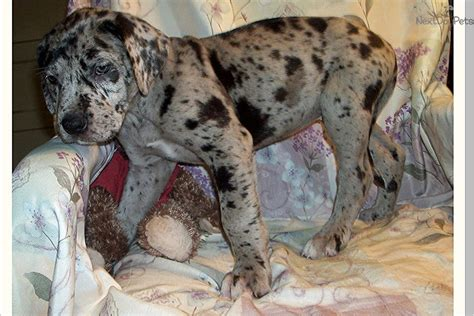 blue merle great dane puppies pin blue merle great dane pictures on