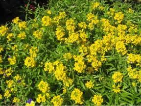 online plant guide erysimum citrona yellow wallflower
