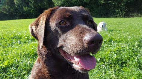 pra in dogs progressive retinal atrophy pra in dogs canna pet 174