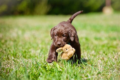 brown labrador puppy pictures of brown lab puppies wallpaper sportstle