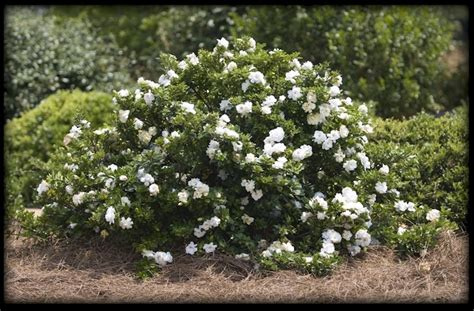 Gardenia Zone 6 1000 Images About Plants I D To Try On