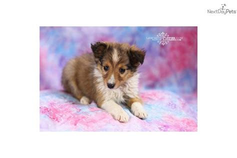 pomeranian sheltie mix puppies for sale meet a mixed other puppy for sale for 599 adorable sheltie
