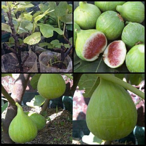 Jual Bibit Buah Tin Di Purwokerto jual bibit pohon buah tin ara varian conadria jumbo di lapak wonderfigs garden fian542