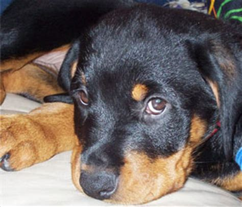 rottweiler breed council why are we still talking about dogs as breeds animal coalition