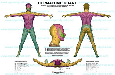 dermatomes map dermatome causes symptoms treatment dermatome