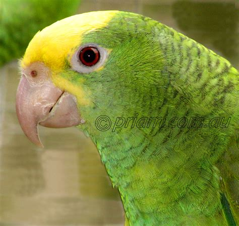 amazon parrot double yellow headed amazon from priam parrot breeding