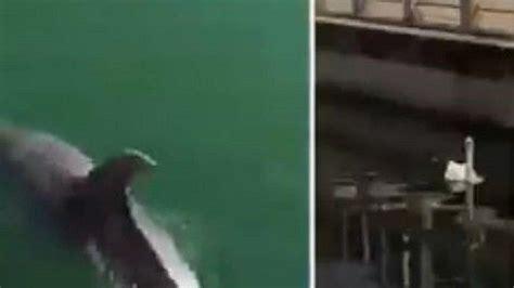 penampakan lumba lumba berenang  kanal venesia viral